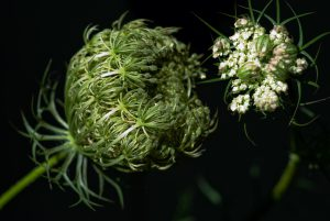 Queen Anne's Lace ready to bloom